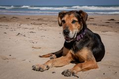 Nieuw Zeeland Huntaway die op strand in zon twee dagen na zich het terugtrekken van het zijn liggen een full-time herdershond stock afbeelding