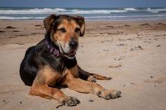 Nieuw Zeeland Huntaway die op strand in zon twee dagen na zich het terugtrekken van het zijn liggen een full-time herdershond royalty-vrije stock foto