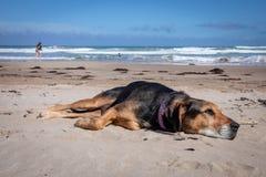Nieuw Zeeland Huntaway die op strand in zon twee dagen na zich het terugtrekken van het zijn liggen een full-time herdershond royalty-vrije stock foto's
