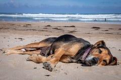 Nieuw Zeeland Huntaway die op strand in zon twee dagen na zich het terugtrekken van het zijn liggen een full-time herdershond royalty-vrije stock afbeeldingen