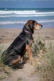 Nieuw Zeeland Huntaway op strand in zon twee dagen na zich het terugtrekken van het zijn een full-time herdershond royalty-vrije stock afbeelding