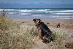 Nieuw Zeeland Huntaway op strand in zon twee dagen na zich het terugtrekken van het zijn een full-time herdershond stock afbeeldingen