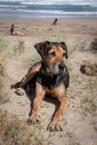 Nieuw Zeeland Huntaway op strand in zon twee dagen na zich het terugtrekken van het zijn een full-time herdershond stock foto's