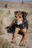 Nieuw Zeeland Huntaway op strand in zon twee dagen na zich het terugtrekken van het zijn een full-time herdershond royalty-vrije stock fotografie