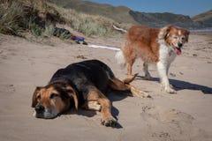 Nieuw Zeeland Huntaway op strand in zon twee dagen na zich het terugtrekken van het zijn een full-time herdershond royalty-vrije stock foto's