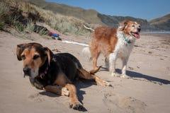 Nieuw Zeeland Huntaway op strand in zon twee dagen na zich het terugtrekken van het zijn een full-time herdershond royalty-vrije stock afbeeldingen