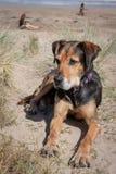 Nieuw Zeeland Huntaway op strand in zon twee dagen na zich het terugtrekken van het zijn een full-time herdershond stock foto