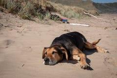 Nieuw Zeeland Huntaway op strand in zon twee dagen na zich het terugtrekken van het zijn een full-time herdershond stock afbeelding