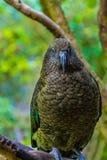 Nieuw Zeeland Kea - Bergpapegaai royalty-vrije stock foto's