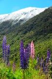 Nieuw Zeeland Lupines Royalty-vrije Stock Foto's