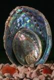 Nieuw Zeeland Paua/Abalone Shells van Verschillende Grootte van Groot tot Uiterst klein royalty-vrije stock foto