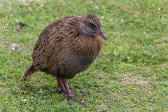 Nieuw Zeeland Weka Stock Afbeeldingen