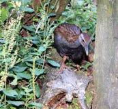Nieuw Zeeland Weka (australis Gallirallus) Royalty-vrije Stock Foto