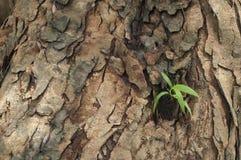 Nieuwe bladeren geboren op oude boom Stock Foto