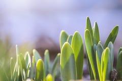 Nieuwe bladeren van Narcissen die de zon nemen stock afbeeldingen