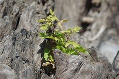 Nieuwe boom in stomp Stock Afbeelding