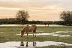 Nieuwe Bosponeys die op gras Hampshire, het UK voeden royalty-vrije stock afbeelding