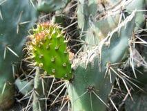 Nieuwe Cactusbladeren Stock Afbeeldingen