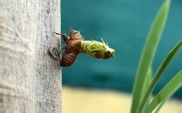 Nieuwe cicade Royalty-vrije Stock Afbeelding