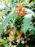 Nieuwe Columbiaanse orchidee Royalty-vrije Stock Afbeeldingen