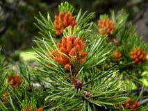 Nieuwe Denneappels van de Lodgepole-Pijnboomboom in Westelijk Rocky Mountains stock afbeelding