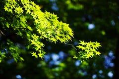 Nieuwe groene bladeren Stock Foto