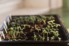 nieuwe groene zaailingen stock fotografie