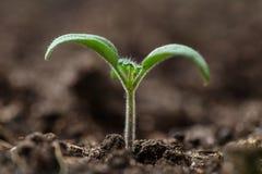nieuwe groene zaailingen stock afbeelding