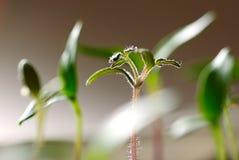 Nieuwe kleine spruit Stock Fotografie