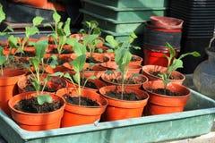 Nieuwe koolInstallaties in potten. Royalty-vrije Stock Foto's
