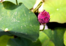 Nieuwe lotusbloem Royalty-vrije Stock Afbeeldingen