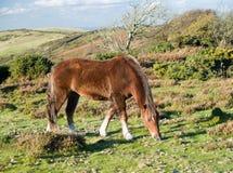 Nieuwe meest forrest poney Royalty-vrije Stock Foto's