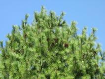 Nieuwe naalden die van struik in de recente lente groeien Royalty-vrije Stock Afbeeldingen