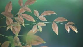 Nieuwe nandinabladeren stock video