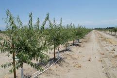 Nieuwe Okkernootboomgaard Royalty-vrije Stock Afbeeldingen