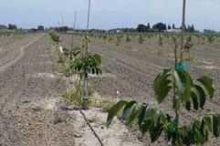 Nieuwe Okkernootboomgaard Stock Fotografie