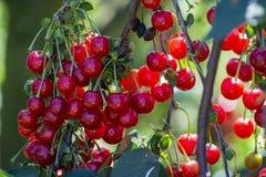 Nieuwe oogst van Prunus cerasus zure kers, scherpe kers, of dwergkers in zonnige tuin royalty-vrije stock fotografie