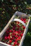 Nieuwe oogst van Prunus cerasus zure kers, scherpe kers, of dwergkers in zonnige tuin stock fotografie