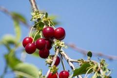 Nieuwe oogst van Prunus cerasus zure kers, scherpe kers, of dwergkers in zonnige tuin royalty-vrije stock afbeelding