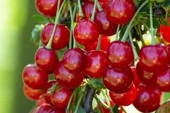 Nieuwe oogst van Prunus cerasus zure kers, scherpe kers, of dwergkers in zonnige tuin stock foto's