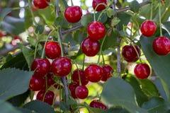 Nieuwe oogst van Prunus cerasus zure kers, scherpe kers, of dwergkers in zonnige tuin royalty-vrije stock foto's