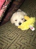Nieuwe puppyslaap Royalty-vrije Stock Fotografie