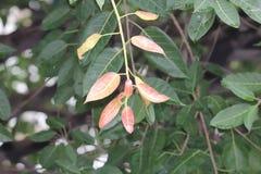 Nieuwe roodachtig doorbladert komt in lentetijd stock afbeeldingen