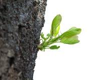 Nieuwe spruit bij oude boomboomstam Royalty-vrije Stock Afbeelding