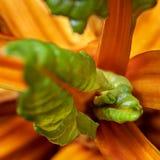 Nieuwe verse bladeren van snijbieten Zwitserse snijbiet stock foto's