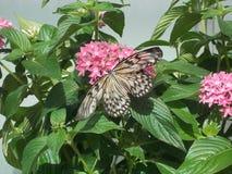 Nieuwe Vlinder Stock Fotografie