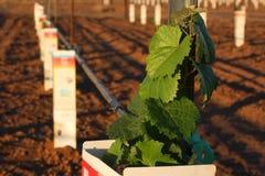 Nieuwe Wijngaard Stock Foto's