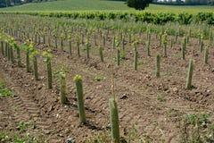 Nieuwe wijnstokken in Engelse wijngaard Royalty-vrije Stock Afbeelding