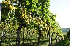 Nieuwe wijnstokoogst Royalty-vrije Stock Fotografie