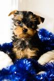 Nieuwjaar, het puppyzitting van Yorkshire Terrier van de Kerstmiskern, 2 maanden oud Royalty-vrije Stock Afbeeldingen
